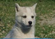 Husky 2 - 300x215
