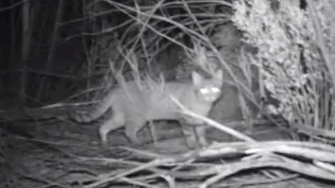 australie.un-robot-tueur-de-chats-errants-pour-sauver-les-perruches