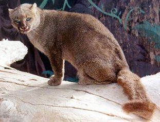 mandalan-jaguar