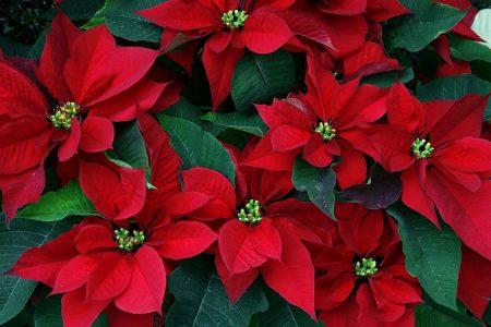L'étoile de Noël, ou Poinsettia